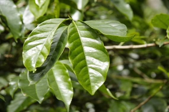 Кофейный лист, излюбленный товар китайцев, и регулярная головная болье вьетнамских кофеводов.